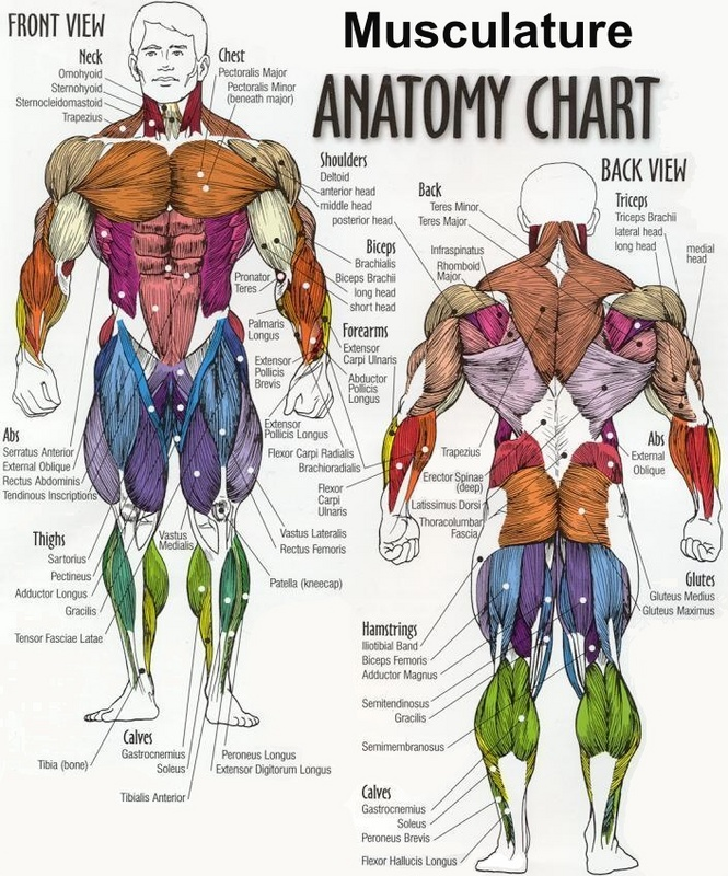 muscle_diagram.jpeg